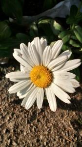 Daisy, Daisy!