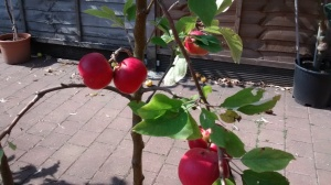 Red red Apples