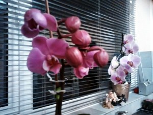 Deep Pink Orchid