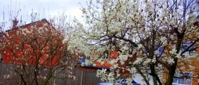 Magnolia  tree  and  Starburst Magnolia  Tree  together